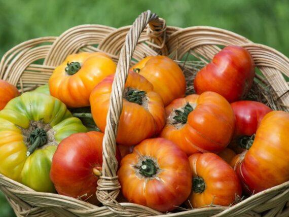 tomate buffalosun 570x428 - Seminte Buffalosun F1 ( 250 seminte )