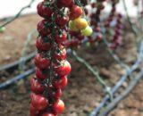 tomate genio 160x130 - Bronson F1 ( 250 seminte )