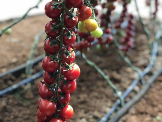 tomate genio 570x428 - Seminte Genio F1 ( 1000 seminte )