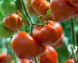 tomate gourmandia 160x130 - Bronson F1 ( 250 seminte )