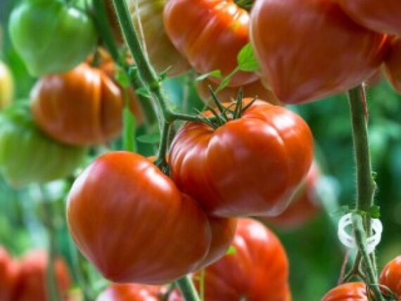 tomate gourmandia 570x428 - Seminte Gourmandia F1 ( 250 seminte )