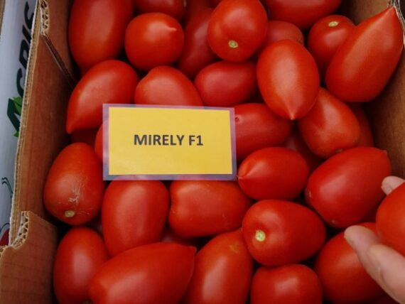 tomate mirely 570x428 - Mirely F1 ( 250 seminte )