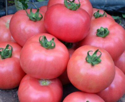 tomate rozy 405x330 - Rozy F1 ( 500 seminte )