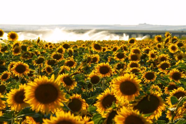 cultura floarea soarelui - Cultura de floarea soarelui - sfaturi pentru obtinerea unei productii bogate