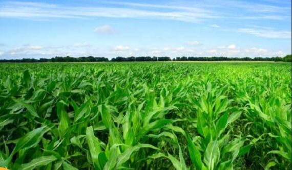porumb gw0008 570x333 - GW0008 FAO 180 ( 50.000 seminte )