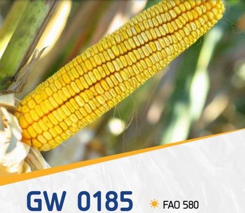 porumb gw0185 - GW0185 FAO 580 ( 50.000 seminte)