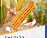 porumb gw2122 160x130 - Seminte GW9003 FAO 370 ( 50.000 seminte )