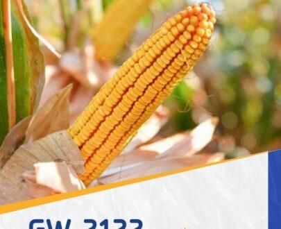 porumb gw2122 405x330 - GW2122 FAO 330 ( 25.000 seminte )