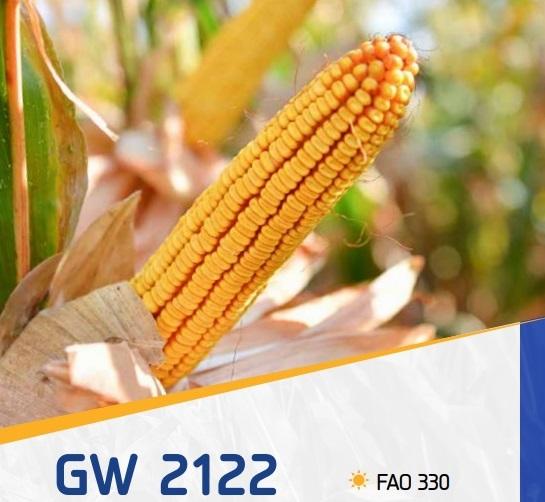 porumb gw2122 - Seminte GW2122 FAO 330 ( 25.000 seminte )