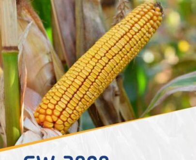 porumb gw3808 405x330 - GW3808 FAO 350 ( 50.000 seminte )