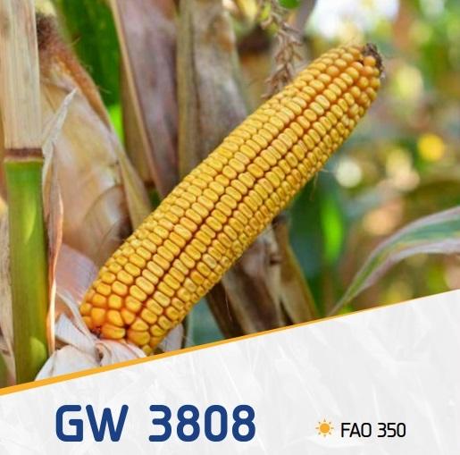 porumb gw3808 - GW3808 FAO 350 ( 50.000 seminte )