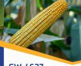 porumb gw4627 160x130 - GW3808 FAO 350 ( 50.000 seminte )