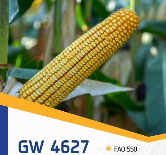 porumb gw4627 - Seminte GW4627 FAO 550 ( 50.000 seminte )