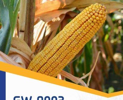 porumb gw9003 405x330 - GW9003 FAO 370 ( 50.000 seminte )