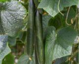 castraveti verdon 160x130 - Seminte Triole F1 ( 1000 seminte )