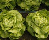 salata sandalina 160x130 - Seminte Rivalda RZ (1000 seminte)