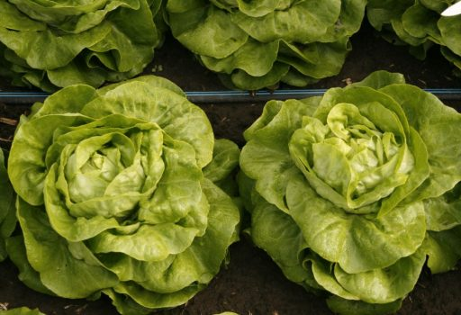 salata sandalina - Seminte Sandalina RZ ( 1000 seminte)