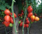 tomate giacomo 160x130 - Seminte Jasperinas ( 1000 seminte )