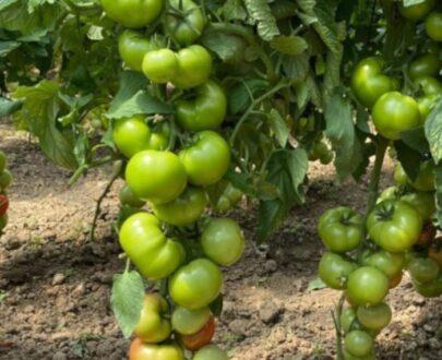 tomate hayet 405x330 - Hayet F1 ( 500 seminte)