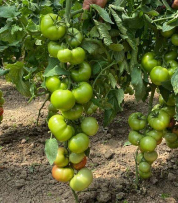 tomate hayet 570x651 - Seminte Hayet F1 ( 500 seminte)