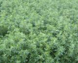 seminte lucerna valahia 160x130 - P9889 ( 80.000 seminte )