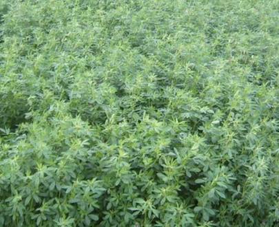 seminte lucerna valahia 405x330 - Seminte de lucerna Valahia - 4AG08 (10kg)