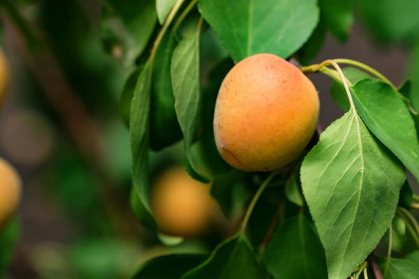 Boli si daunatori la pomi fructiferi – Diagnosticare si Tartare - Boli si daunatori la pomi fructiferi – Diagnosticare si Tratare
