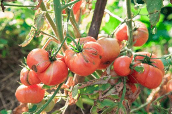 daunatori tomate - Cei mai intalniti daunatori la tomate, metode de prevenire si combatere
